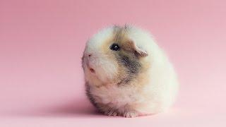 Звуки морских свинок/ что означают звуки морских свинок/ какие звуки издаёт Буська
