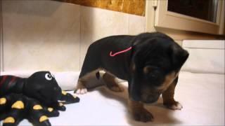 Chiot Femelle Bull Terrier Miniature De L'élevage Des Honey's Bulls Au Collier Rose