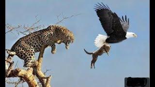 Младенец-спасатель Гепарда упал с охоты на орлов, дикие животные сражаются с сильным