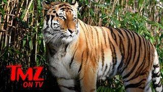 Bronx Zoo Tiger Tests Positive for Coronavirus, First U.S. Based Animal | TMZ