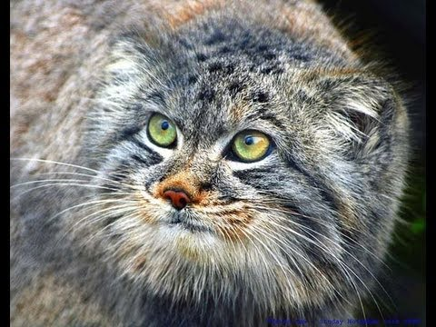 videos for cats to watch manul pallas cat zoo ł 243 dź 2013 12434