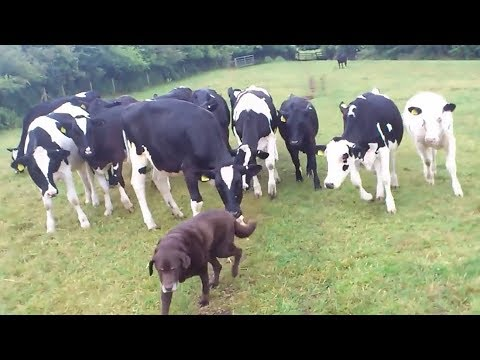 Curious cows adorably follow dog wherever he goes