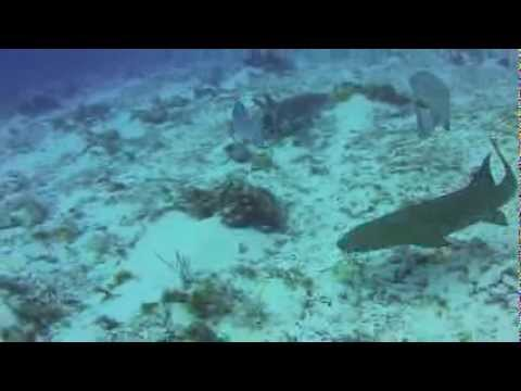 Aquanautics Dive: Nurse Sharks in Cozumel, Mexico