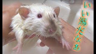 今回のお風呂はマロンくんです(*´ω`) みんな大人しかったけども、ここ...