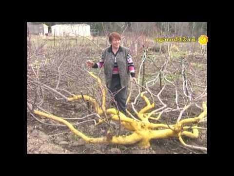 Чтобы яблони плодоносили