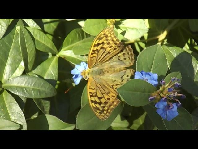 Смотреть видео Бабочки завтракают