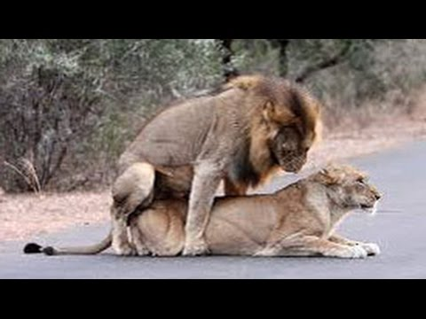 Lions Mating In The Road - Latest Wildlife Sightings