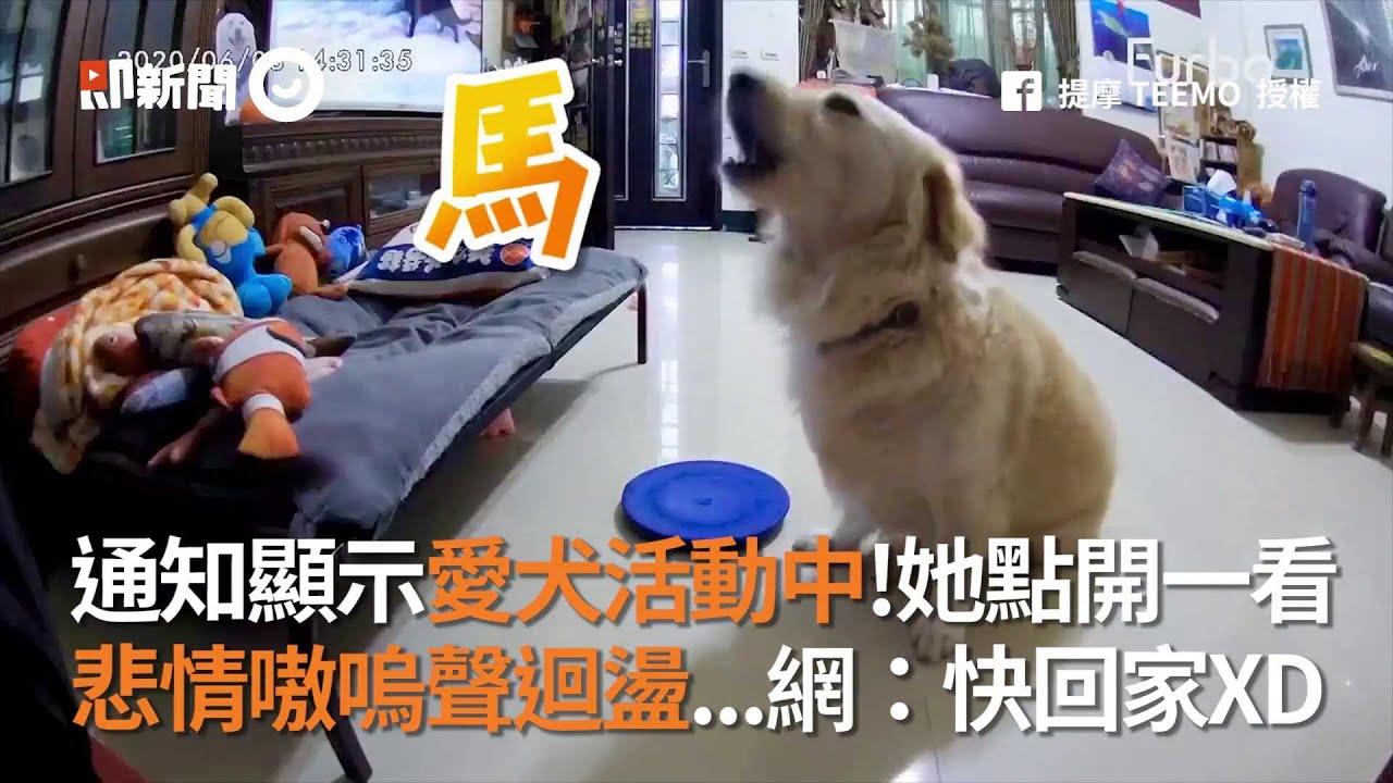 通知顯示愛犬活動中!她點開寵物監視器...悲情嗷嗚聲迴盪 狗狗 想念 難過