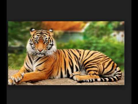See beautiful tiger pic video us 420