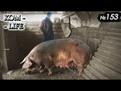 Отъезд старой свиноматки
