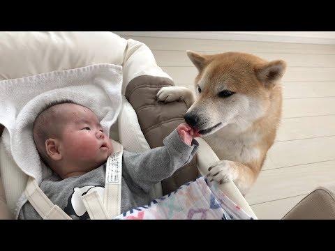泣いてる赤ちゃんを声であやそうとする柴犬だいふく [ Daifuku pacifies crying a baby by voice ]