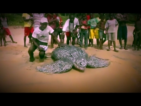 HUGE LEATHERBACK SEA TURTLE! Returning to the Sea in Liberia!