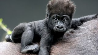 Wildlife Documentary - Full HD - Gorillas in the Wild