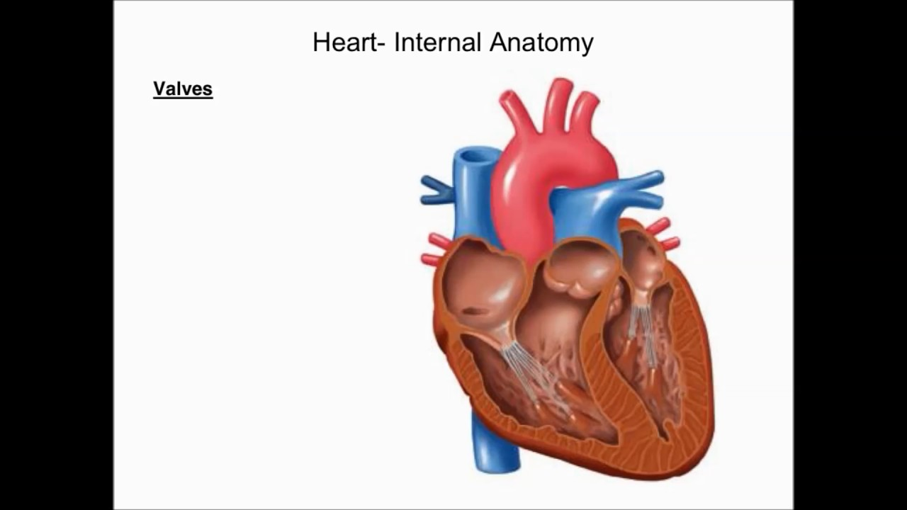 The Cardiovascular System Introduction, The Heart, and Blood Vessels ...