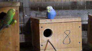 Болтовня волнистых попугаев во время размножения.
