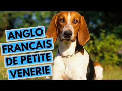 Anglo Francais de Petite Venerie Dog Breed - Facts and Info