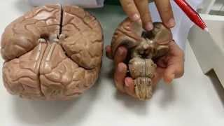 Nervos nos cerebrais danos curando