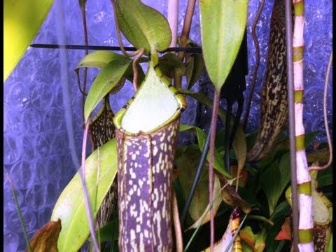repotting my nepenthes carnivorous pitcher plant nepenthes care and culture tips in the greenhouse html 2