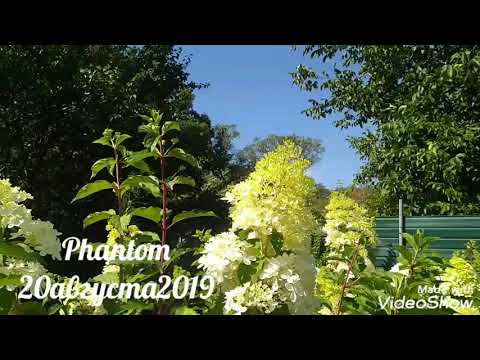 20августа2019 Высокорослая Метельчатая Гортензия Phantom ✌️🤗