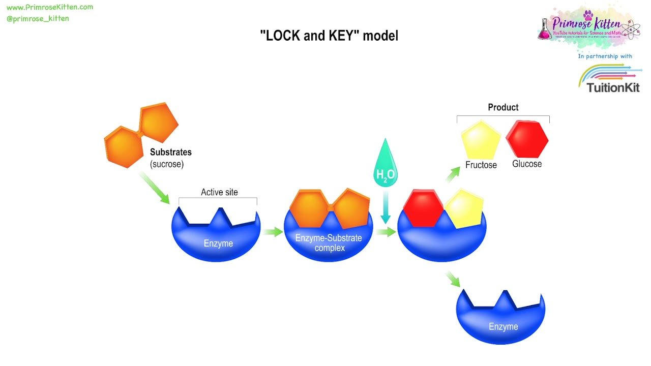 Lock and key mechanism for enzyme action youtube lock and key mechanism for enzyme action ccuart Choice Image