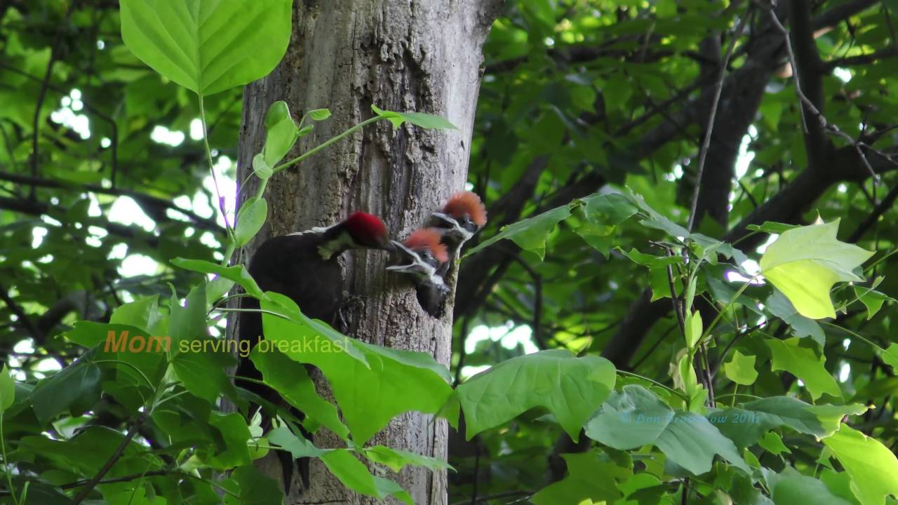 Download Pileated Woodpecker Trio Fledging Preview (Parents Feeding Nestlings)