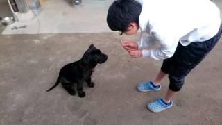 初めてのお手、おすわり。かしこい土佐犬。