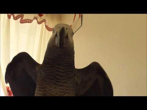 African Grey  Parrot Dancing