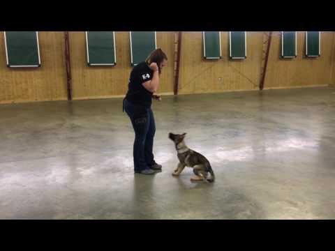 "19 Wk German Shepherd Puppy ""Gail"" Obedience Super Dog In Development & Training"