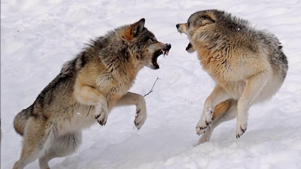 картинка бой волков всем известный ягель