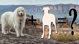 Great Pyrenees Mixes: 9 Large Pyrenees Hybrid Dogs