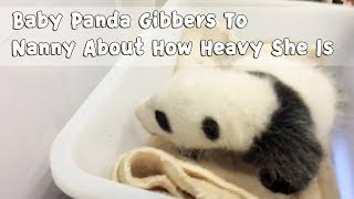 Baby Panda Gibbers To Nanny About How Heavy She Is | iPanda