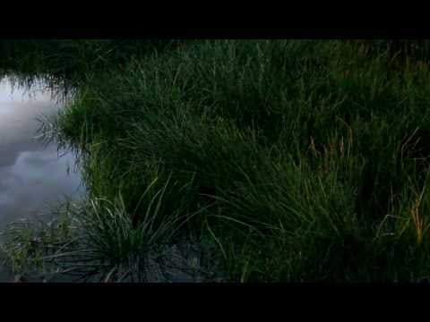 Litoria ewingii - tree frogs calling - NZ