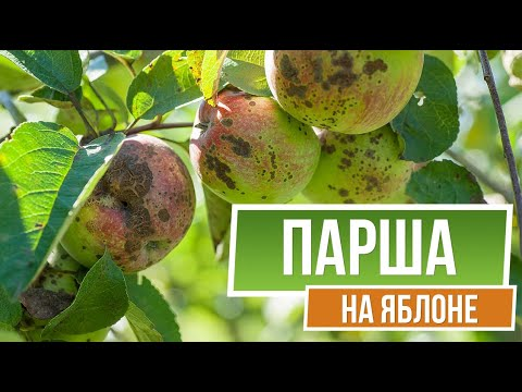 Осторожно! Парша на Яблоне 🍏 Как Лечить Болезни Яблонь ✔️ сад | заболевание | осторожно | лечение | болезни | яблонь | яблоне | лечить | парша | чем | сад