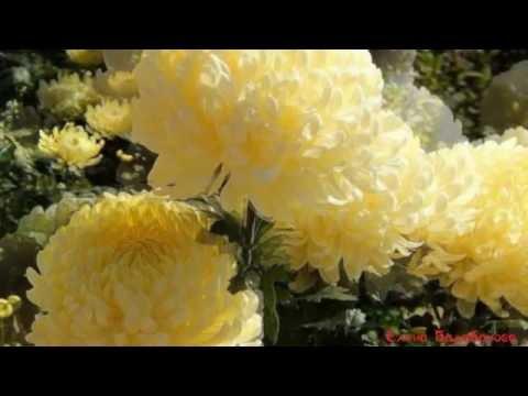 Красивые цветы хризантемы. Старинный романс ХРИЗАНТЕМЫ.