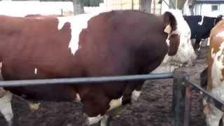 Buhaj - byk rozpłodowy w gospodarstwie