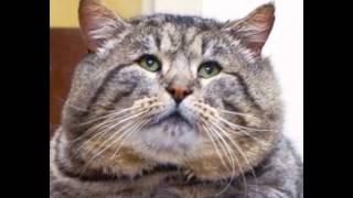 Самые толстые коты в мире.