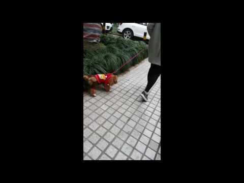 Dogs of Shanghai shortclip