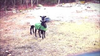 śmieszne kozy, rozmowa z żoną