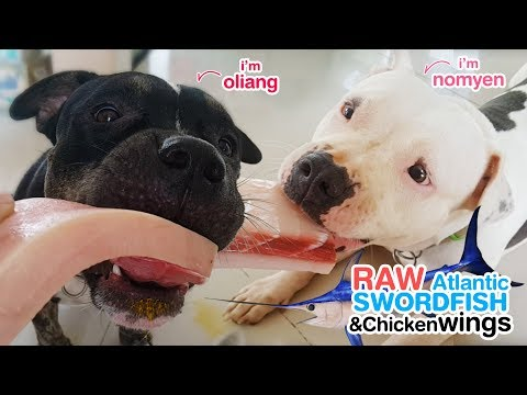 Pit Bulls eat RAW Atlantic swordfish and Organic chicken wings [ASMR] 動物の咀嚼音