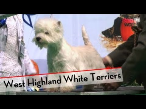 West Highland White Terrier - Best of Breed