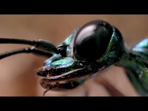The emergence of this jewel wasp at Chester Zoo is NOT for the faint-hearted