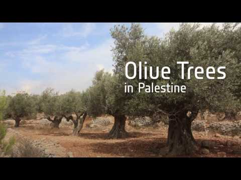 Crowd funding: olive trees in Palestine