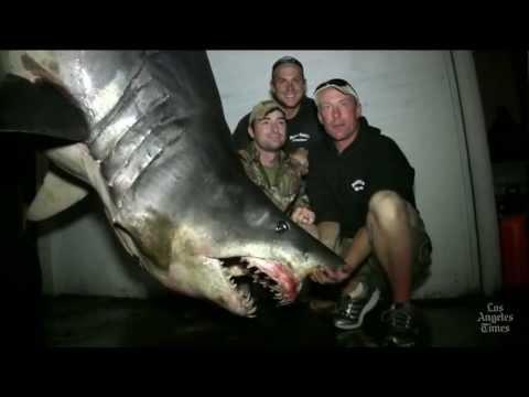 Headline: 1,300-pound Shark Caught Near Huntington Beach