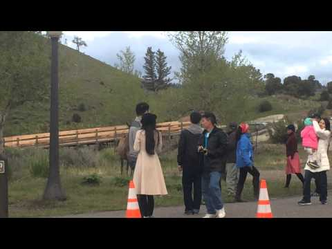 Yellowstone tourist getting to close to Elk