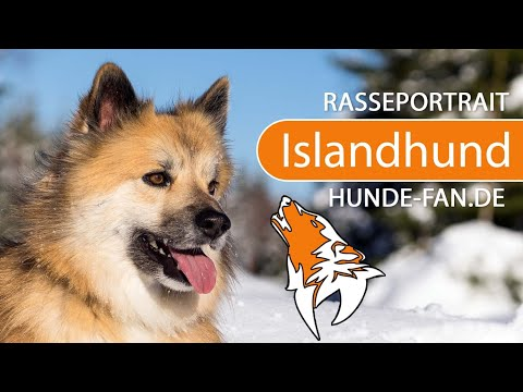 Icelandic Sheepdog [2019] Breed, Appearance & Character