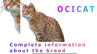 Ocicat. Pros and Cons, Price, How to choose, Facts, Care, History