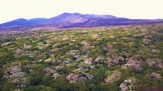 [ 4K Ultra HD ] 絶景ドローン空撮:伊豆大島 オオシマザクラの樹海 Cherry Blossoms forest in Izu-Oshima-island