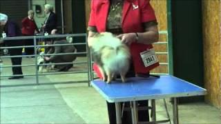 Manchester Dog Show Pomeranian Judging