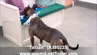 """tarzan"" Great 2 Yr Old Male Americal Bulldog & Bull Terrier Mix (a380223)"