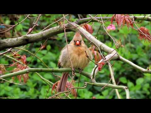A Female Northern Cardinal Singing (and A Male Too)